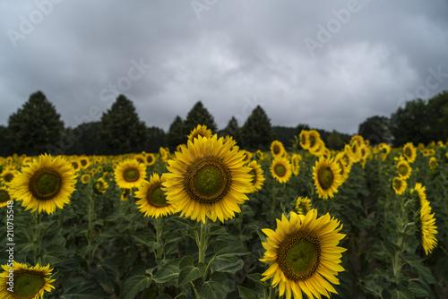 Sonnenblumenfeld mit strahlenden Blüten in mystischem Licht