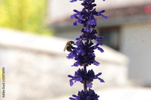 Fotobehang Lavendel Abeille butinant