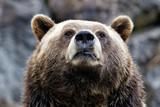 Big bear head - 210720316
