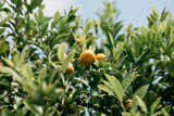 Tangerines on a branch. Harvest time. Delicious and healthy food.