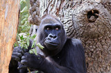 Western Lowland Gorilla enjoying a snack of leaves while resting against a tree - 210722710