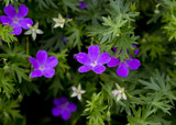 Purple flowers in the garden. Background image. - 210729508