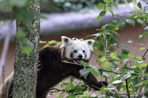 Plexiglas Panda red panda on the tree branch, (Ailurus fulgens), also called the lesser panda, the red bear-cat, and the red cat-bear