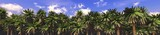 Palm Grove. Panorama of trees against the sky with clouds.