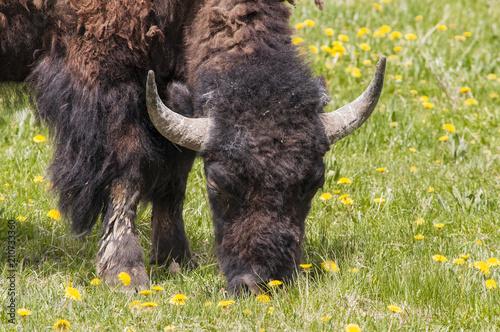 Fotobehang Bison Bison Eating Lunch