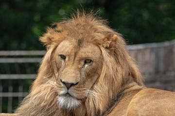 Löwe Löwin