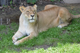 Lioness laying in the grass