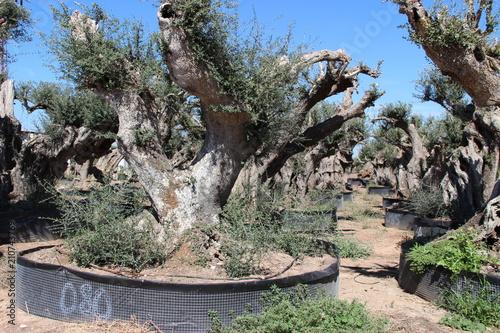 Plexiglas Khaki Spain - city, olive trees, landscape, castle, palm trees