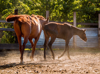 A mare walks with a foal in a pen in summer