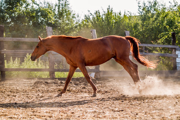 Red mare sports in the pen in summer