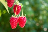 raspberries on the bush - 210792775