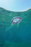 A many-ribbed jellyfish Aequorea forskalea underwater below the water surface in the Mediterranean sea, Cote d'Azur, France