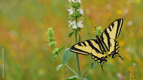 Papilio alexanor  58