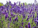 Echter Lavendel,Heilpflanze - 210795778