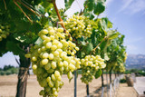 White grape vines on a sunny day