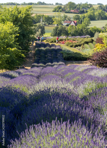 Garden with the flourishing lavender © wjarek