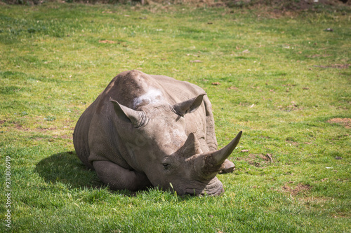 Fotobehang Neushoorn Sleeping rhinoceros