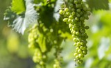 vine green grapes