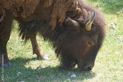 Fotobehang Bison bison buffalo
