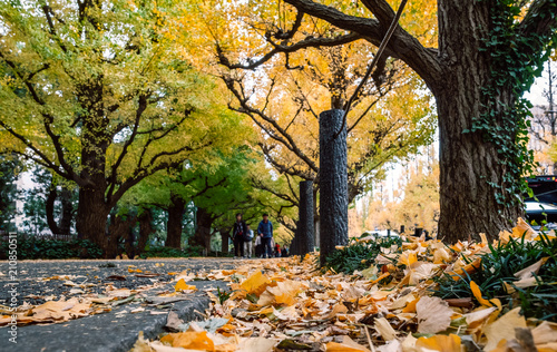 Autumn leaves of ginkgo tree at Meiji Jingu Gaien Park