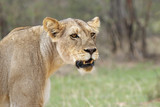 The deatail of the head of lioness (Panthera leo) with brown and green background