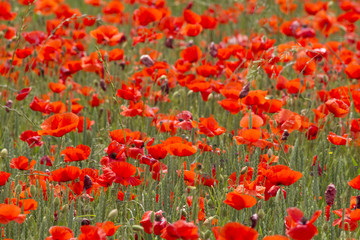 A field full of red poppy flowers between grasses at the edge of the forest