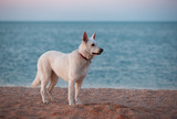 White siberian husky on the beach at summer sunset