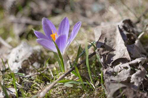 W środku uschniętych liści rozkwita krokus i ogłasza początek wiosny - sfotografowany we własnym ogrodzie