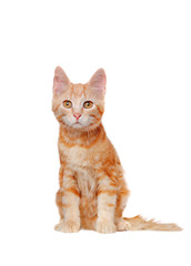 Pretty sitting red haired kitten isolated on white