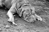 Mastiff in Black and white lay on the ground