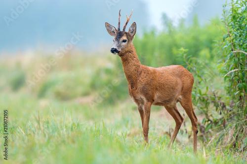 Fototapeta Roe buck standing in a field