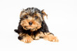 Cute york puppy on a white background