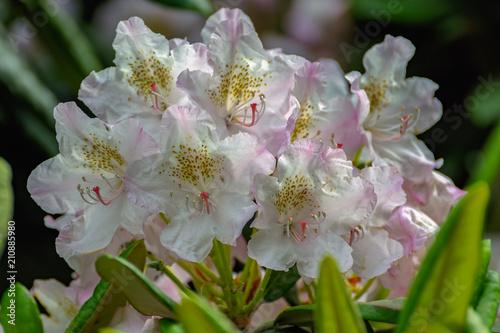 In de dag Azalea Blooming rhododendron