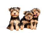 Cute three puppy yorkshire terrier