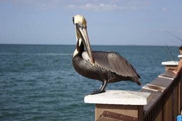 Pelican in Clearwater Beach © Flavio