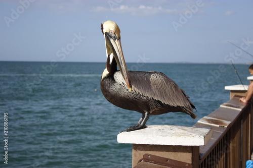 Pelikan w Clearwater Beach
