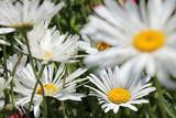Margeriten (Leucanthemum) - Korbblütler (Asteraceae)