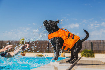 black staffordshire bull terrier dog in an orange lifejacket playing safely by the side of a swimming pool. He is being splashed and is trying to catch the water in his mouth © cbckchristine