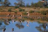 Flamingos in the Ria Formosa
