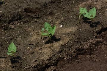 Kidney beans germination / Kitchen garden