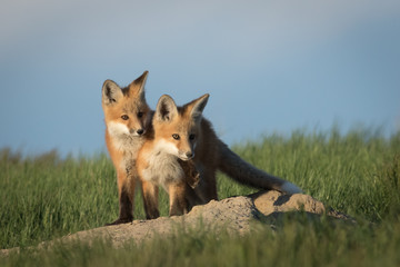 Fox kits in very adorable pose.