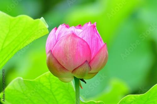 可憐な蓮の花 - 210945951