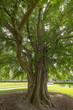 Leinwanddruck Bild - Ginkgobaum