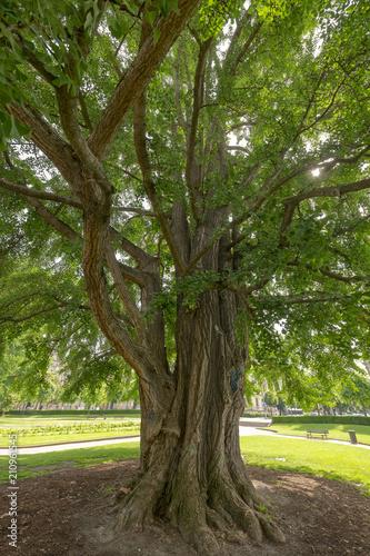 Leinwanddruck Bild Ginkgobaum