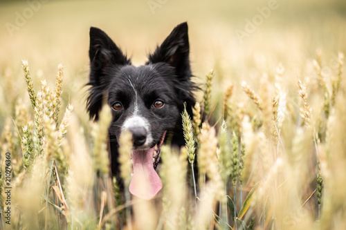 Obraz na płótnie Pies border collie w zbożu