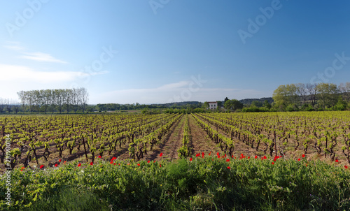 Fotobehang Wijngaard Poppies and vineyards in the Languedoc Wine Route