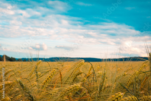Fotobehang Honing golden wheat field