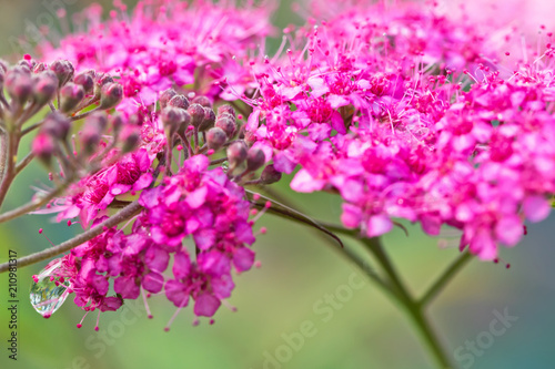 Small decorative pink flowers with long stamens with dew drops on small decorative pink flowers with long stamens with dew drops on stems mightylinksfo