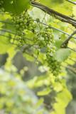 Muscadine Green Grapes Growing in Vineyard