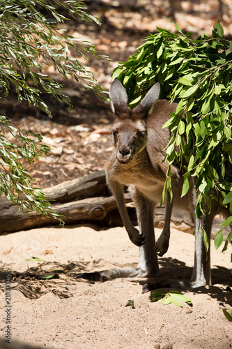 Fotobehang Kangoeroe Close up of an kangaroo hiding behind a little tree